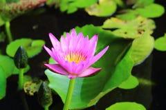 Rosa färger waterlily och grönt blad Arkivbild