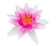 Rosa färger waterlily på vit bakgrund Fotografering för Bildbyråer