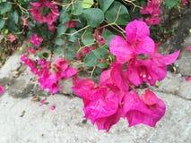 Rosa färgerna Royaltyfri Foto