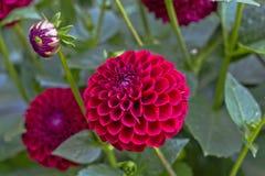 Rosa färgers bolldahliors blomma arkivbilder