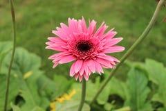 Rosa färgfärgblomma Royaltyfri Foto