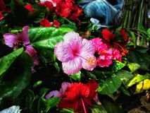 Rosa färgfärghibiskus på den Gullif gatan KOLKATA Arkivbild