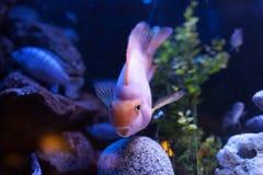 Rosa färgfisk Fotografering för Bildbyråer