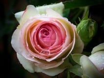 Rosa färggulingros Arkivfoton