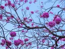 Rosa färgIpe-blommor Royaltyfria Bilder