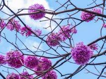 Rosa färgIpe-blommor Royaltyfri Bild