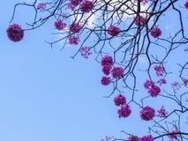 Rosa färgIpe-blommor Arkivbild