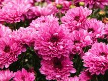 Rosa färgjubel Arkivbild