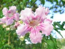Rosa färgklocka Fotografering för Bildbyråer