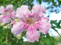Rosa färgklocka Arkivfoton