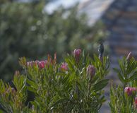 Rosa färgkonung Protea arkivbild