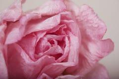 Rosa färgpapper steg Royaltyfria Foton