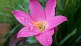 Rosa färgregnlilja, Rosepink zephyrlily royaltyfri bild