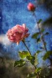 Rosa färgros över blå himmel fotografering för bildbyråer