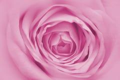 Rosa färgros Royaltyfri Fotografi