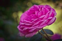 Rosa färgros Arkivbilder