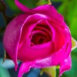 Rosa färgros Royaltyfri Foto