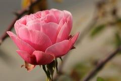 Rosa färgros fotografering för bildbyråer