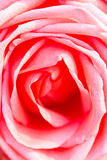 Rosa färgros. royaltyfria bilder