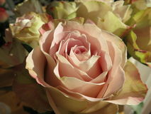 Rosa färgros Arkivbild