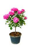 Rosa färgros Arkivfoton