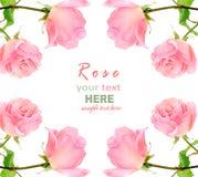 Rosa färgros Royaltyfria Foton