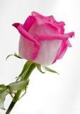 Rosa färgros Arkivfoto