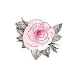 Rosa färgros 1 Royaltyfri Bild
