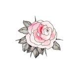 Rosa färgros 3 Arkivbilder
