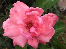 Rosa färgros efter regn fotografering för bildbyråer