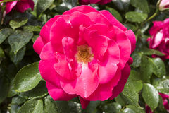 Rosa färgros efter regn i trädgård arkivfoto