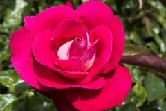 Rosa färgros efter regn i trädgård arkivbilder