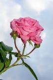 Rosa färgros efter regnet Royaltyfri Fotografi