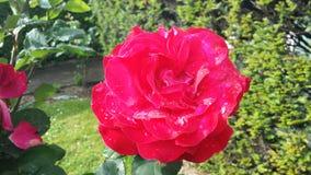 Rosa färgros, färgrik vår Fotografering för Bildbyråer