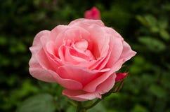 Rosa färgros i den trädgårds- naturen Royaltyfri Fotografi