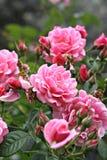 Rosa färgros i trädgården Arkivbilder