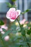Rosa färgros i trädgården Fotografering för Bildbyråer
