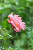Rosa färgros i vertikal ram royaltyfri foto