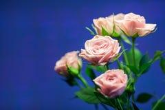 Rosa färgros med oskarp bakgrund för turkos Fotografering för Bildbyråer