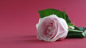 Rosa färgros med röd bakgrund royaltyfri foto