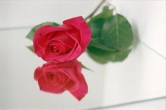 Rosa färgros med reflexion på en ljus bakgrund Arkivfoton