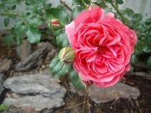 Rosa färgros med stenar Arkivfoton