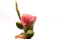 Rosa färgros med svart bakgrund Royaltyfri Foto