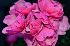 Rosa färgros med vattendroppar Arkivfoton