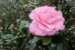 Rosa färgros nära solmånesjön i Taiwan arkivfoton