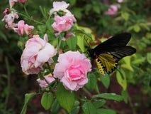 Rosa färgros och en fjäril Arkivfoto