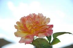 Rosa färgros och guling royaltyfri bild
