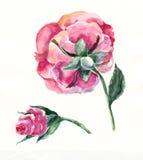Rosa färgros och knapp, vattenfärg Fotografering för Bildbyråer