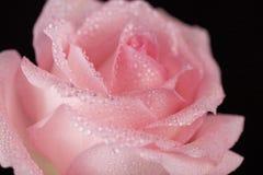 Rosa färgros och waterdrops Arkivbilder
