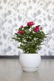 Rosa färgros på en keramisk kruka i rum Royaltyfri Foto